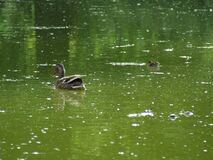 mother-and-child-ducks Royalty Free Stock Image