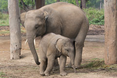 Mother and child. Mother elephant and calf; Nepal Royalty Free Stock Images