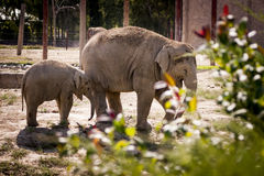 Mother and child elephant. Royalty Free Stock Image