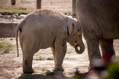 Mother and child elephant. Stock Images