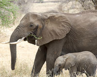 Mother and child elephants sideview grazing Royalty Free Stock Images