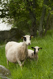 Mother and child. A ewe with her lamb royalty free stock photo