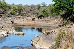 Elephant in Kruger National Park. Mother and child. Female elephant with her calfs at Sweni waterhole with hippo in the water in Kruger National Park in South royalty free stock photography