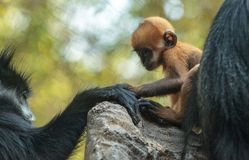 Mother and child Francois Langur monkey family Trachypithecus fr. Mother and child Francois Langur monkey family also called Trachypithecus francoisi can be Stock Photos