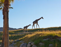 Mother and child giraffes against landscape Stock Photo