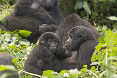 Mother and Child Gorilla in the Forest. Mother and Child Gorilla in the Bwindi Impenetrable Forest Stock Images