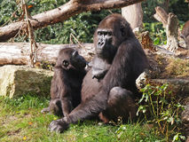 Mother and child gorilla royalty free stock photography