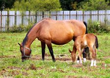 Mother and child grazing. And taking rest on the field royalty free stock image