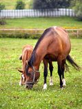 Mother and child grazing. And taking rest on the field Stock Photos