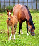 Mother & child grazing. Mother and child grazing and taking rest on the green meadow royalty free stock images