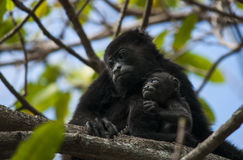 Mother and baby howler monkeys. A mother howler monkey holds onto her baby high up in the trees, Costa Rica (January 2015 Royalty Free Stock Photography