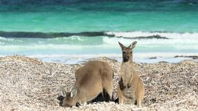 Mother and child kangaroo at lucky bay beach looking in to the camera in Cape Le Grand National Park stock footage