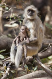 Mother and Child Langur Stock Photos