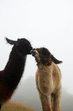 Mother and child llama. Llama's with a foggy background royalty free stock photography