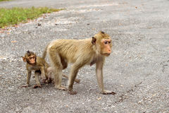 Mother and child macaque monkey Stock Image