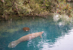 Mother and child Manatee Royalty Free Stock Photos