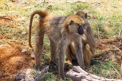 Mother and child monkey in the wilderness. At a safari drive royalty free stock photos