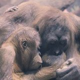 Mother and Child Orangutans Cuddling. Two Orangutans hugging each other stock photos