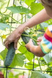 Mother and child picking cucumbers Stock Image
