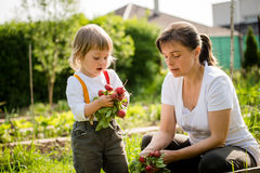 Mother and child picking up radishes Stock Image