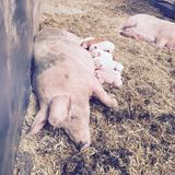 Mother and child. Mother pig and baby piglets sleeping and eating Stock Image