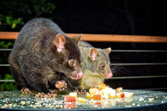 Mother and child possum Stock Photography