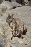 A mother and a child of rock wallabies. Living in Granite Gorge near Cairns, Australia Stock Photography