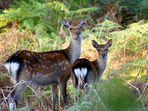 Mother & Child Sika Deer Royalty Free Stock Photos