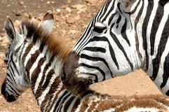 Mother and Child Zebra Stock Image
