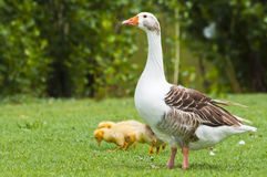 Mother and children. This image shows a female goose with the offspring, in a meadow Royalty Free Stock Photography