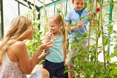 Mother And Children Harvesting Tomatoes In Greenhouse. Looking At Each Other Smiling Stock Image