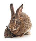 Mother and children rabbit. Royalty Free Stock Image