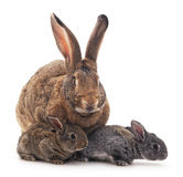 Mother and children rabbits. Royalty Free Stock Images