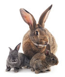 Mother and children rabbits. Stock Images