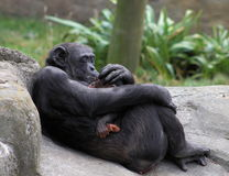 Mother Chimp Breast Feeds Baby. A mother chimpanzee (Pan troglodytes) breastfeeding her baby as she appears to be tenderly kissing the baby on the head Royalty Free Stock Images