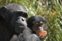 Mother Chimpanzee Royalty Free Stock Image