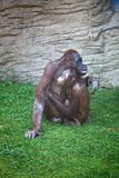Mother chimpanzee caress her child Royalty Free Stock Images