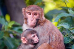 Mother chimpanzee huges her cute baby Stock Images