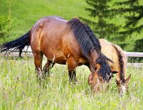 Mother and chlid grazing. Horses grazing and taking rest on the green meadow stock image