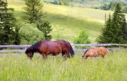 Mother and chlid grazing. Horses grazing and taking rest on the green meadow Royalty Free Stock Photos