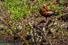 A Mother and a Cluster of Baby  Black-bellied Whistling Ducks Stock Image
