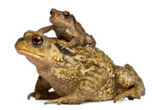 Mother Common Toad And Her Baby, Bufo Bufo Royalty Free Stock Photos