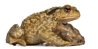 Mother Common toad and her baby, bufo bufo. In front of white background royalty free stock photos