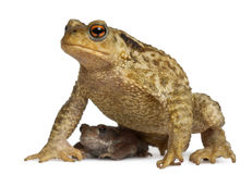 Mother Common toad and her baby, bufo bufo. In front of white background stock image