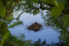Mother coot is brooding on her nest royalty free stock photography