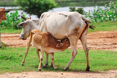 Mother cow. Fine image of adult mother cow feed her puppy stock image