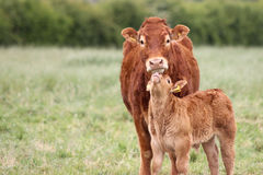 Mother Cow with a baby calf in a field.