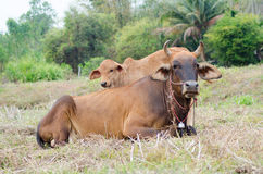 Mother cow royalty free stock photos