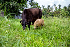 Mother cow and calf. In green meadow Stock Images