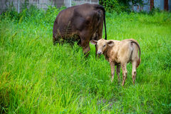 Mother cow and calf. In green meadow Royalty Free Stock Photos